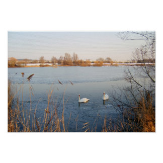 Swans Póster