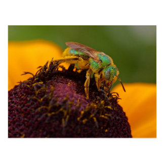 Sweat Bee At The Del Mar Fairgrounds Postcard