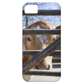 Swedish mountain cattle (Skansen) iPhone 5 Cases