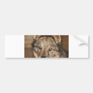 swedish vallhund.png bumper sticker