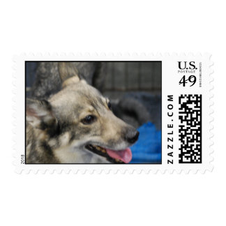 Swedish Vallhund Stamp
