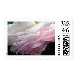Sweeping Pink Rose Flower Photo Postage Stamps