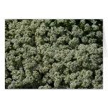 Sweet Alyssum Flowers Card