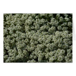 Sweet Alyssum Flowers Dainty White Floral Card