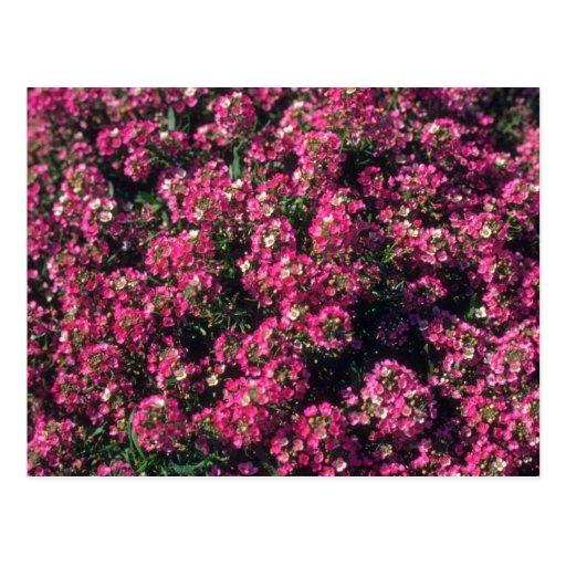 Sweet Alyssum (Lobularia Maritima) flowers Postcard