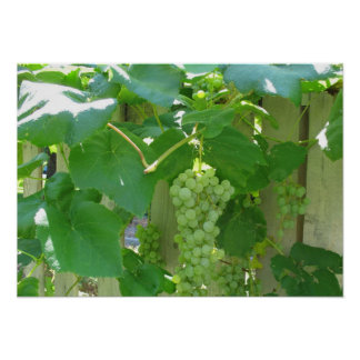 Sweet and Juicy White Seedless Grapes Poster