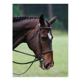 Sweet Arabian Horse Postcard