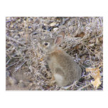 Sweet Baby Bunny Post Cards