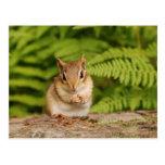 sweet baby chipmunk postcard