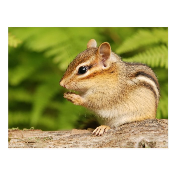 sweet baby chipmunk with snack postcard