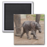 Sweet Baby Elephant In A Hurry Magnets