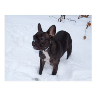Sweet Black French Bulldog Likes Snow Postcard