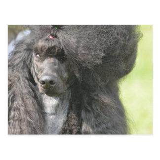 Sweet Black Poodle Postcard