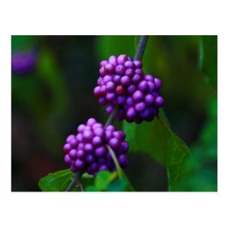 Sweet Blackberries Postcard
