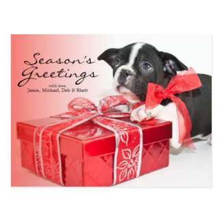 Sweet Boston Terrier puppy Postcard