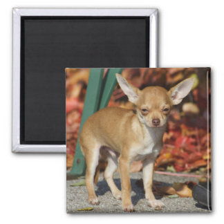 Sweet Charlie Chihuahua 2 Inch Square Magnet