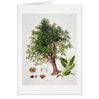 Sweet Chestnut, engraved by A. Haase (colour litho Card