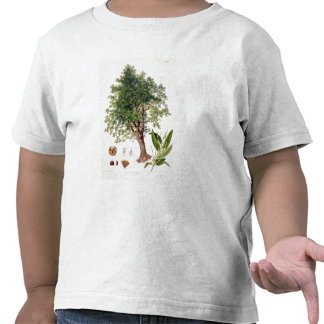 Sweet Chestnut, engraved by A. Haase (colour litho Tshirts
