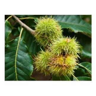 Sweet Chestnut Postcard
