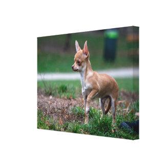 Sweet Chihuahua Puppy Gundog Wannabe Canvas Print