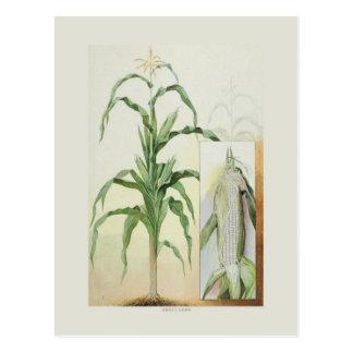 Sweet corn postcard