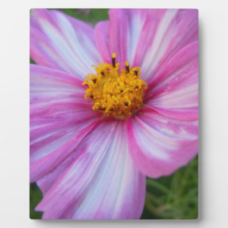 Sweet Cosmo with Pink and White Petals Plaque