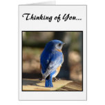 Sweet Eastern Bluebird (Thinking of You) Greeting Cards