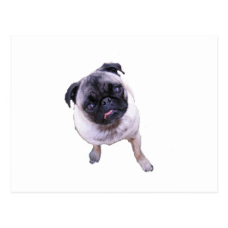 Sweet Faced Pug Postcard