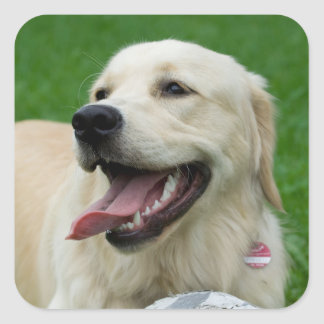 Sweet Friendly Labrador Square Sticker