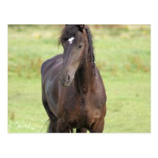 Sweet Friesian Horse  Postcard