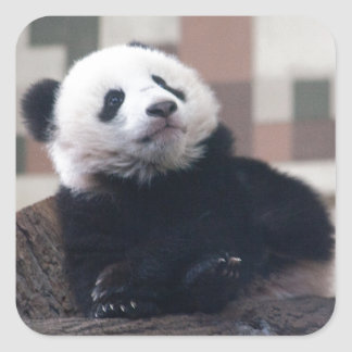 Sweet Giant Panda Baby Square Sticker