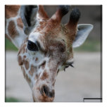 Sweet Giraffe Poster