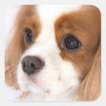 Sweet Girl Cavalier King Charles Spaniel Sticker