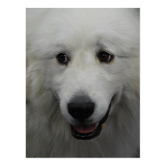 Sweet Great Pyrenees  Postcard
