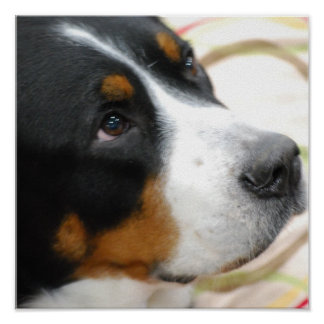 Sweet Greater Swiss Mountain Dog Poster