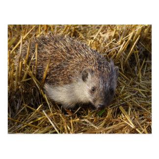 Sweet Hedgehog In Stubble Field Postcards