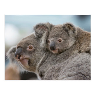 Sweet Koala Postcard