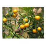 Sweet Kumquats Postcard