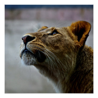 Sweet lion queen looking , natural Lioness Poster