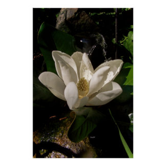 Sweet Magnolia Blossom Poster