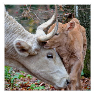 Sweet Mother Cow & Calf in Autumn Poster