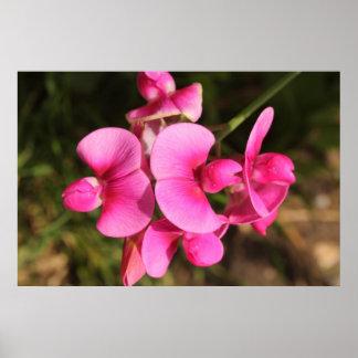 sweet pea flower macro posters