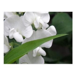 Sweet Pea Flowers Postcard
