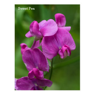 Sweet Pea Pretty Pink Wildflowers Name Floral Card