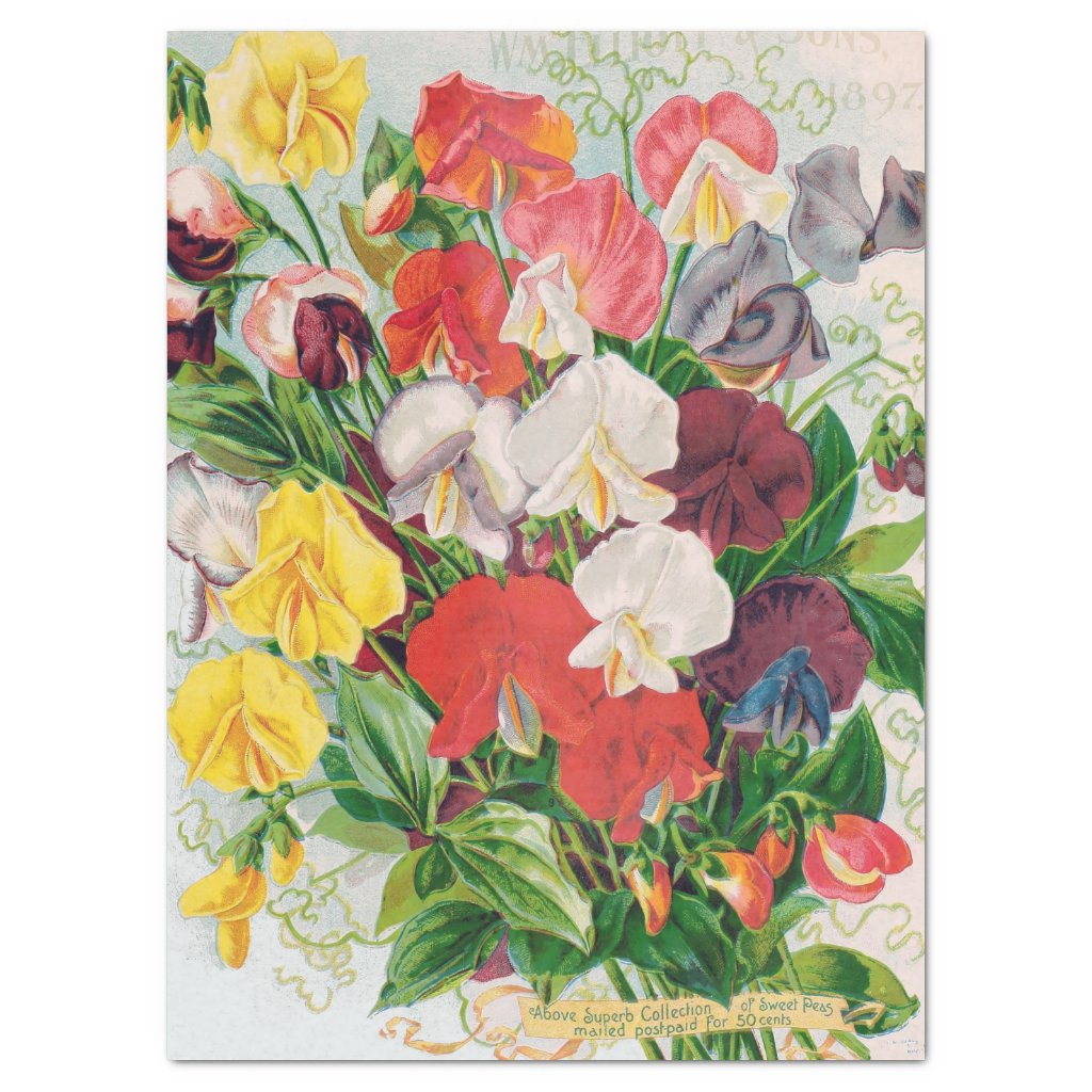 Sweet Peas Superb 1897 Print Tissue Paper 17x23