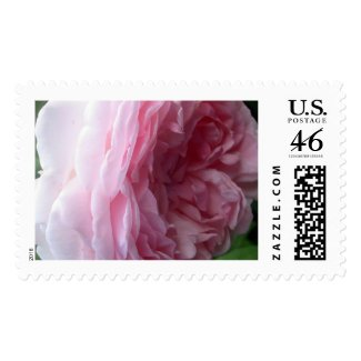 Sweet Pink Cascade Rose Flower Photo Postage Stamp