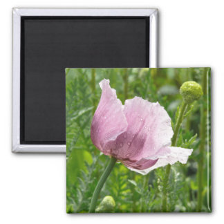Sweet Pink Poppy with raindrops Magnet