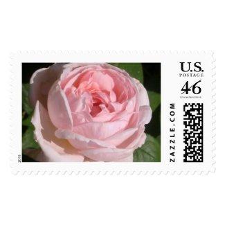 Sweet Pink Rose Postage Stamp