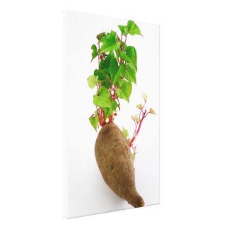 Sweet potato plant sprouts canvas print