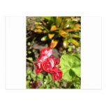 Sweet Red Roses Post Card
